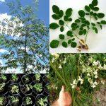 moringa oleifera, arborele lui dumnezeu