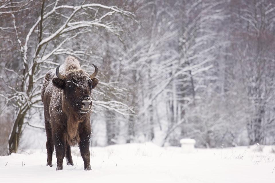 zimbru, bison bonasus, etica in aer liber